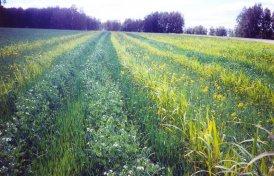 Посевы зерносмеси