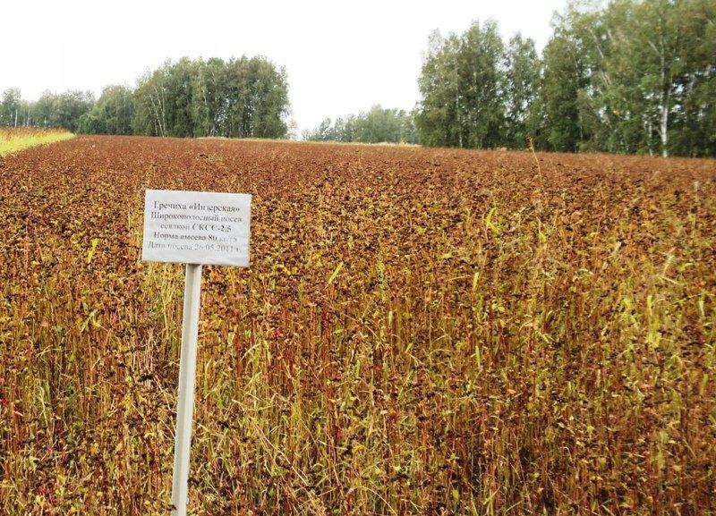 Гречиха посевная выращивание 13